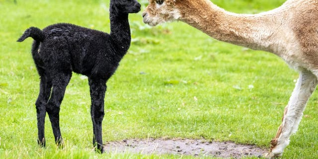 A newborn alpaca enjoyed playing outside for the first time with its mum. Proud mom Lola, age 2, is nursing the cute cria named Tia who was born at the end of last month. (Credit: SWNS)