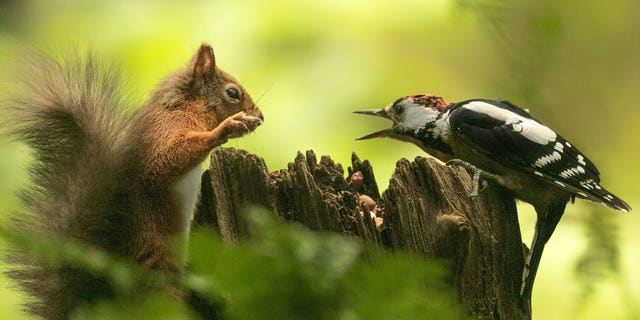 Karen Crawford, 59, captured the face-off as the pair appeared to be having a row over a handful of nuts on a tree trunk. In the shot, the red squirrel is perched vertically on a tree stump with its paw in the air, as the bird sits on the other side with its beak wide open. (Credit: SWNS)
