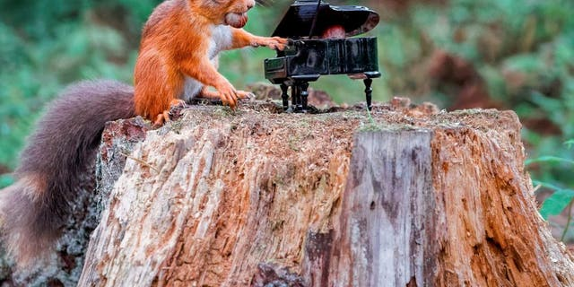 Photographer Jeffrey Wang, 27, snapped the critter at Carnie Woods, outside Aberdeen. He lives a 15-minute walk away and spent two hours watching the red squirrels play on the evening of Sept. 11. (SWNS)