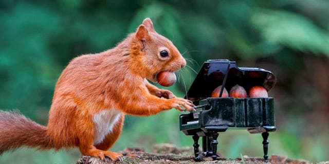 A red squirrel seems to play a tiny piano while eating nuts at Carnie Woods, outside Aberdeen, Scotland. (SWNS)