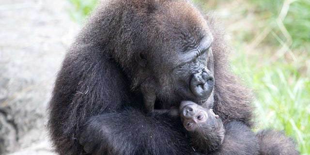Audubon Zoo Welcomes Critically Endangered Gorilla Baby