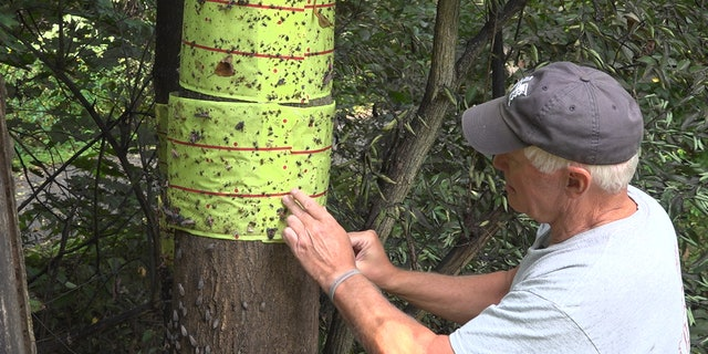 Chris Patterson making a homemade trap to keep spotted lanternflies under control in his apple orchard. (Katie Byrne / Fox News)