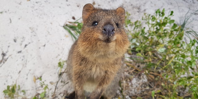 "To begin the study, 19 participants viewed photos and videos of a ""range of cute animals,"" including the quokka, pictured."