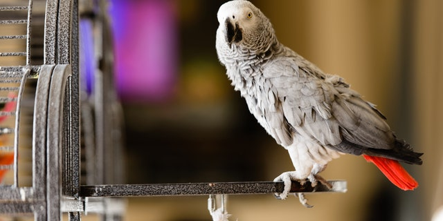 A group of African grey parrots were taken from the view of guests after they kept squawking obscenities.