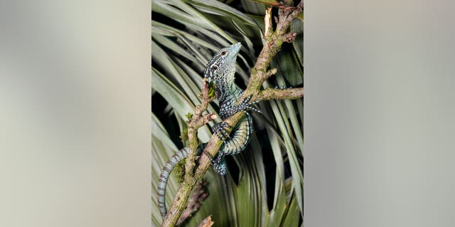 Bristol Zoo's popular Bug World and Reptile House has reopened for the first time since lockdown with a number of new animals that have hatched during the closure. They include these four blue tree monitor lizards which emerged from eggs just 5cm long. (SWNS)