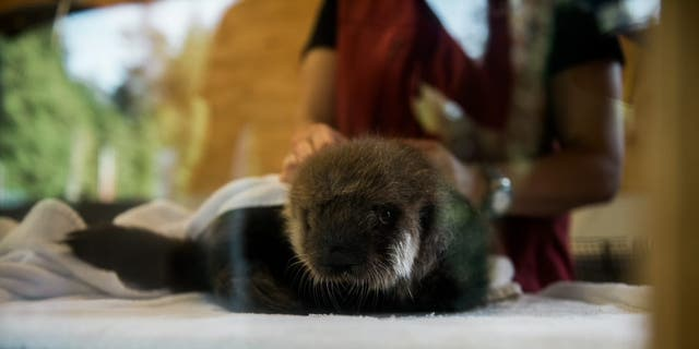 Joey gets combed and dried by his caretakers. Grooming is an important part of his daily ritual. (Credit: Vancouver Aquarium/Ocean Wise)