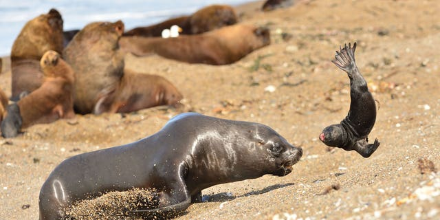 This is the horrifying moment a jilted seal takes his frustration out on a poor cub. (Credit: SWNS)