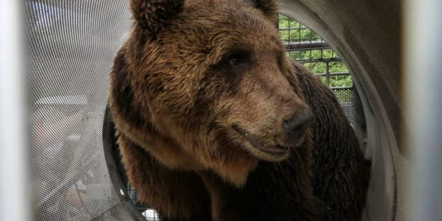 "The bear is named M49 but has been nicknamed ""Papillon"" after the 1973 movie about a prison escape. (Press Office of the Autonomous Province of Trento)"