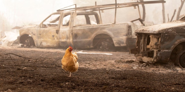 A chicken wanders through charred remains from the Beachie Creek Fire near the destroyed Oregon Department of Forestry, North Cascade District Office in Lyons, Ore., Sunday, Sept. 13, 2020.