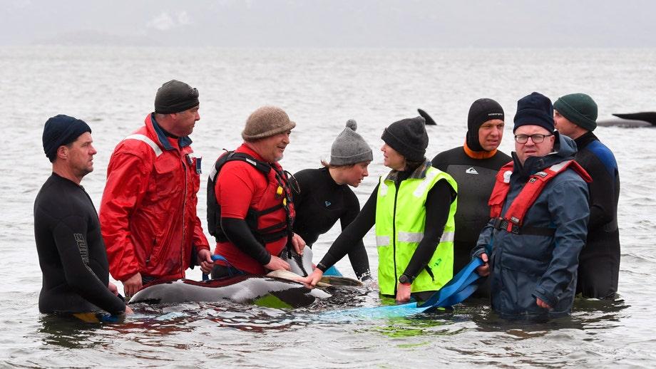 Almost 500 pilot whales stranded in Australia