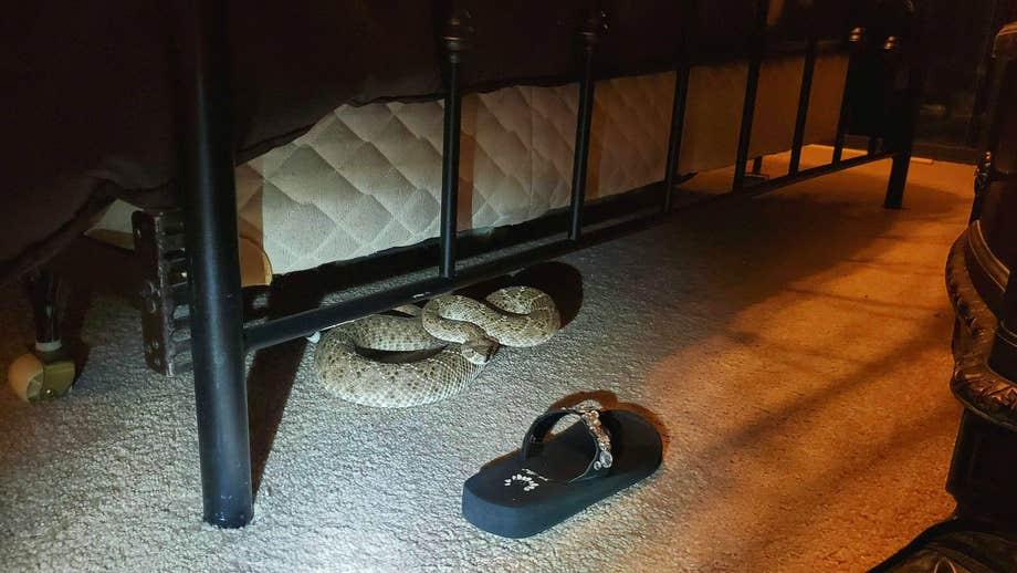Large western diamondback rattlesnake discovered under bed in Phoenix