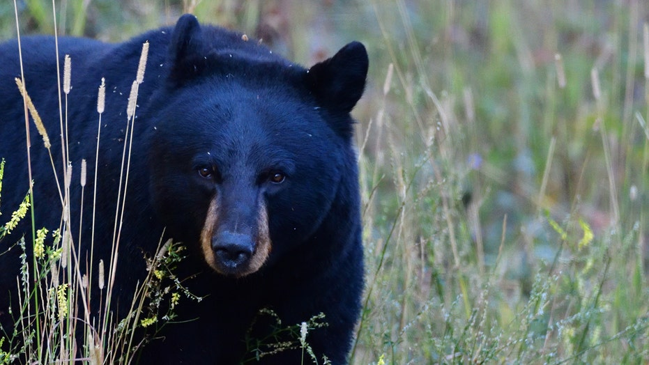 11-year-old Wisconsin girl harvests potential state record black bear