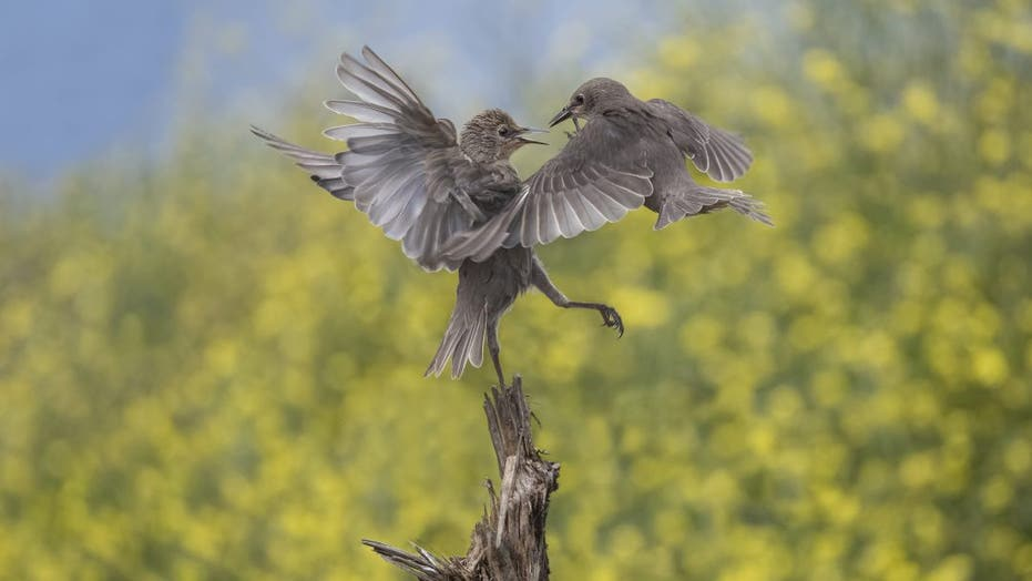 Starlings captured on film fighting in mid-air