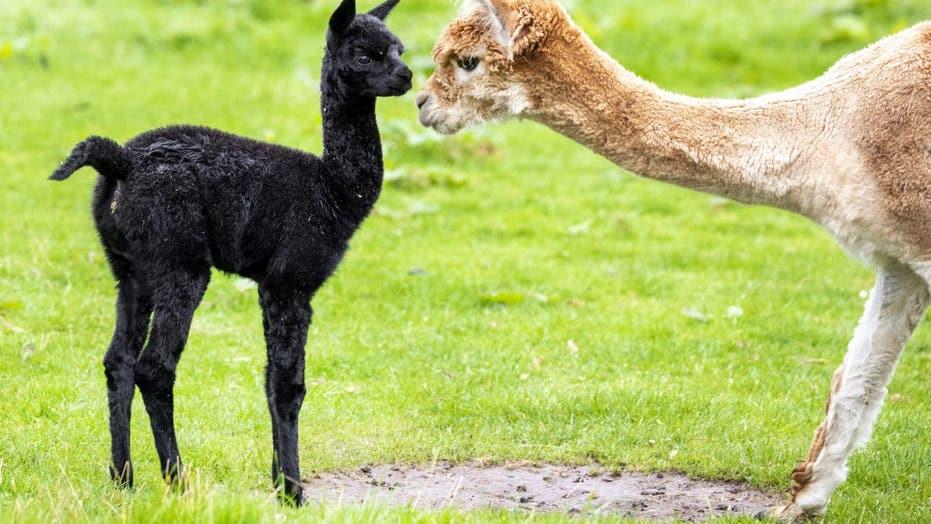 Rare black alpaca worth thousands of dollars born in Scotland