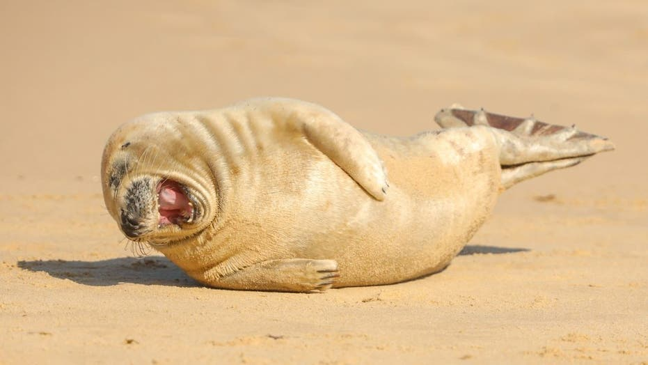 Seal pup spotted 'laughing' on golden beach