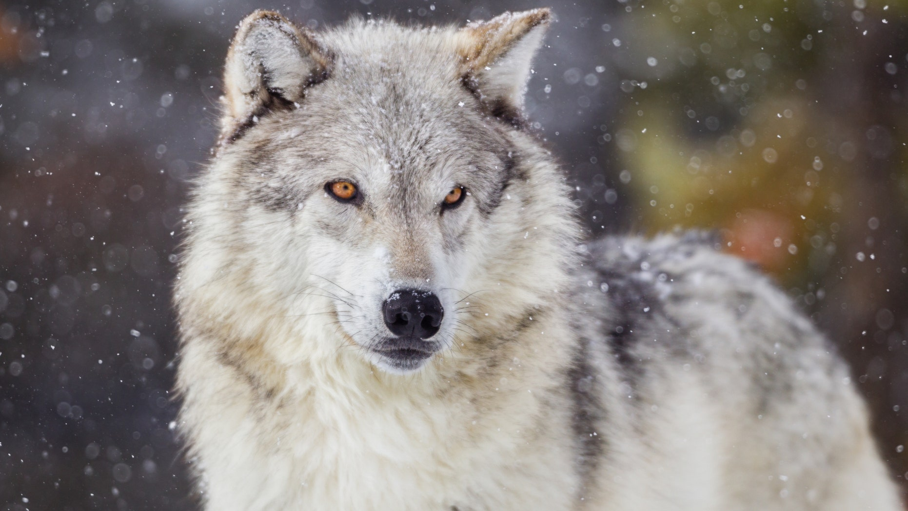 Michigan poacher who killed 18 wolves, bald eagles loses hunting license for life