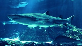 Sharks in Southern California coastal waters gathering in record numbers, researchers say