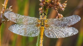 Dragonflies with morning dew stuck to their wings captured in viral images