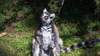 5-year-old boy gets lifetime zoo pass for spotting stolen lemur