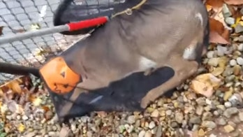 Deer with head stuck in plastic pumpkin rescued by New Jersey animal control officers