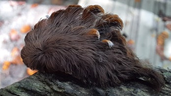 Hairy caterpillar with 'venomous spines' found in Virginia, prompting warning