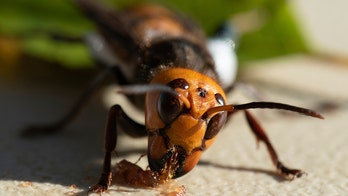 Scientists in US, Canada gear up for battle against murder hornets