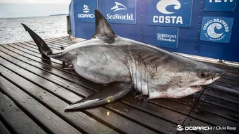 Researchers find 17-foot-long great white shark off Nova Scotia that weighs nearly 2 tons