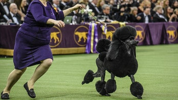 Coronavirus concerns delay Westminster Dog Show, event moves out of NYC