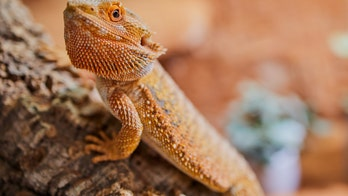 Bearded dragons linked to salmonella outbreak across 8 states, CDC says