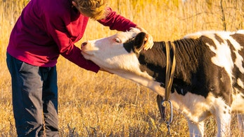 Cow-hugging, an alleged wellness fad, has people cuddling farm animals to relieve stress