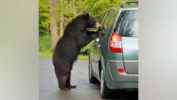 Bear steals food from car, leaves behind hair, muddy tracks
