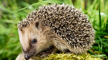 CDC investigating salmonella outbreak tied to pet hedgehogs