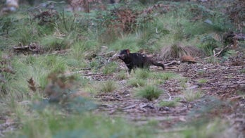 Tasmanian devils are coming back to Australia for first time in 3,000 years