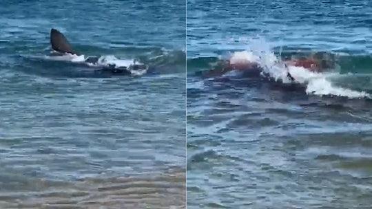 Great white shark devours seal, turns water bloody off Massachusetts beach
