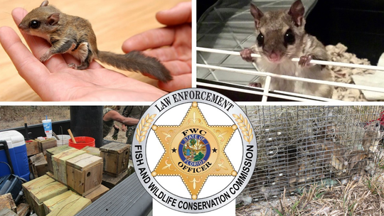 Florida wildlife investigators uncover flying squirrel trafficking ring: officials