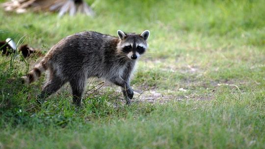Massachusetts girl, 2, attacked by rabid raccoon: officials