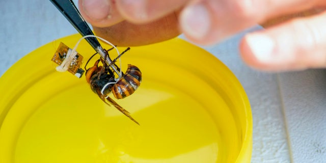 In this Sept. 30, 2020, photo provided by the Washington State Department of Agriculture, a researcher works to attach a tracking device to a live Asian giant hornet near Blaine, Wash. Agricultural officials in Washington state said Friday, Oct 2, 2020 they are trying to find and destroy a nest of Asian giant hornets believed to be near the small town amid concerns the hornets could kill honey bees crucial for pollinating raspberry and blueberry crops. (Karla Salp/Washington State Department of Agriculture via AP)