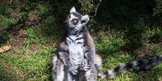 A missing lemur named Maki has been found. The ring-tailed lemur was missing from the San Francisco Zoo after someone broke into an enclosure overnight and stole the endangered animal, police said last week. The 21-year-old male lemur was discovered missing shortly before the zoo opened to visitors, zoo and police officials said. A 5-year-old boy who helped catch the primate has been rewarded with a lifetime membership to the zoo. (Marianne V. Hale/San Francisco Zoo via AP)