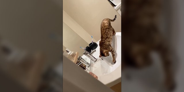 Amber, a 1-year-old Bengal cat, ended up causing some serious damage to its owners' home after learning how to turn on the sink and plug the drain hole.