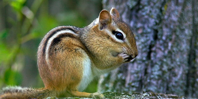 A food writer in Atlanta has opened a tiny restaurant for a chipmunk on her front porch. She named the chipmunk (not pictured) Thelonious Munk. (iStock)