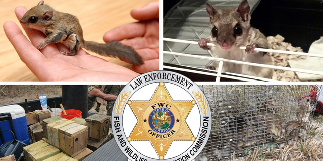Flying squirrels taken from Florida and illegally shipped to Asia, authorities allege