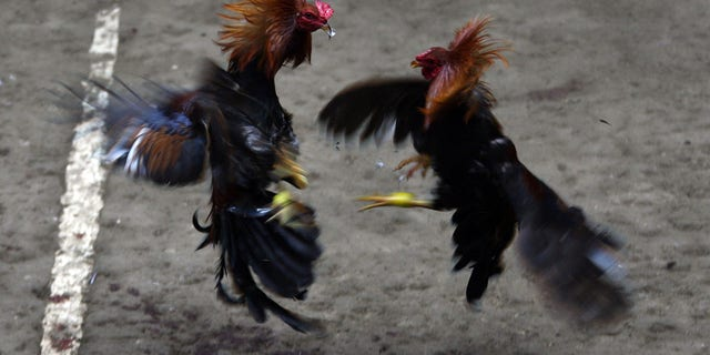 KORONADAL, PHILIPPINES - DECEMBER 04: Locals watch as roosters clash during a cockfight on December 4, 2011 in Koronadal, Philippines. (Photo by Jeoffrey Maitem/Getty Images)