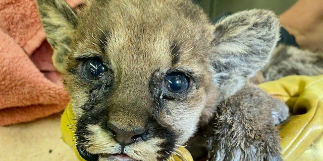 Burned Mountain lion cub upon arrival to the Oakland Zoo Veterinary Hospital.