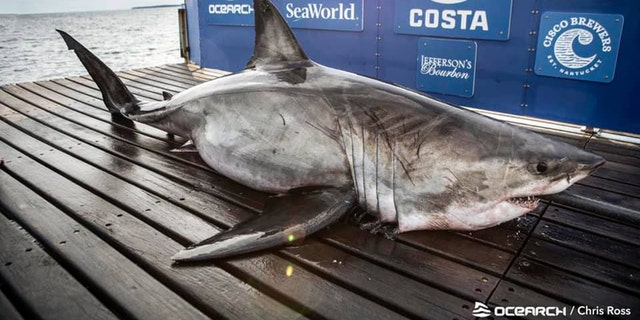 Nukumi is the largest great white shark the research nonprofit OCEARCH has tagged