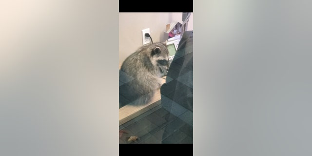 The raccoons are thought to have stealthily gained access to the bank via its roof. (Peninsula Humane Society & SPCA)