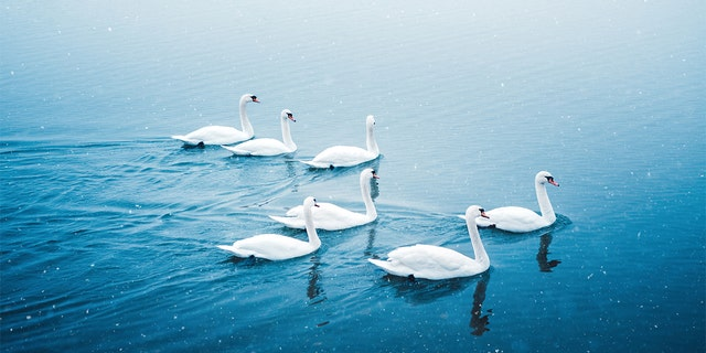"""Lakeland, Florida, will be selling some its swans (not pictured) this year after it's annual """"Swan Roundup"""" on Tuesday. (iStock)"""
