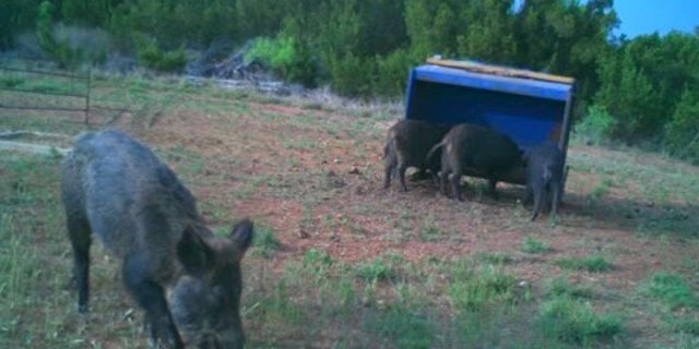 Texas rancher Zachary Yanta said he loses over 30% of his crop to wild hog damage every year.