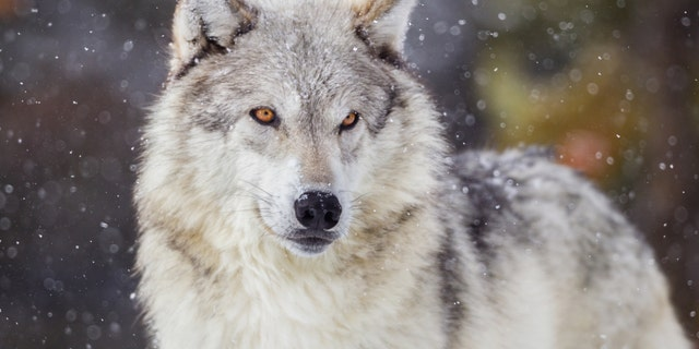 A Michigan poacher has lost his hunting privileges for life after illegally harvesting endangered gray wolves, among other species.