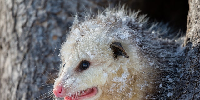 Opossums need hair to survive the cold outdoors, which is why people have been donating sweaters to the baby opossum with a condition that cannot grow hair.