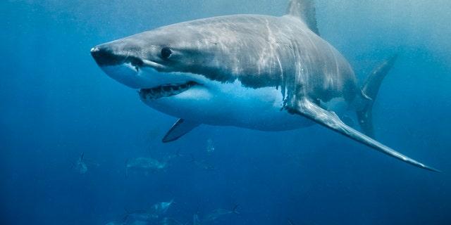 The 13-foot shark circled the kayak before eventually swimming away without harming the fisherman.